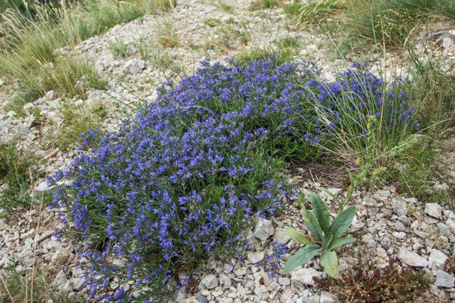 Летом растение покрывается поникающими соцветиями
