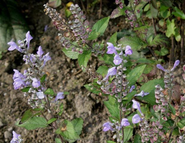 Крупные рыхлые соцветия сине-фиолетовых цветков
