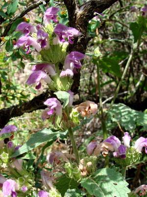 Цветки пурпурные
