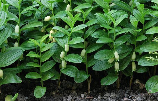 Белые с зелеными концами цветки
