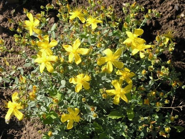 Множество крупных золотистых цветков