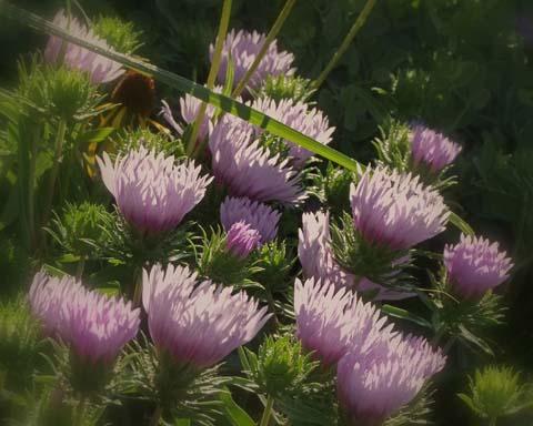 Соцветия-корзинки василькового цвета