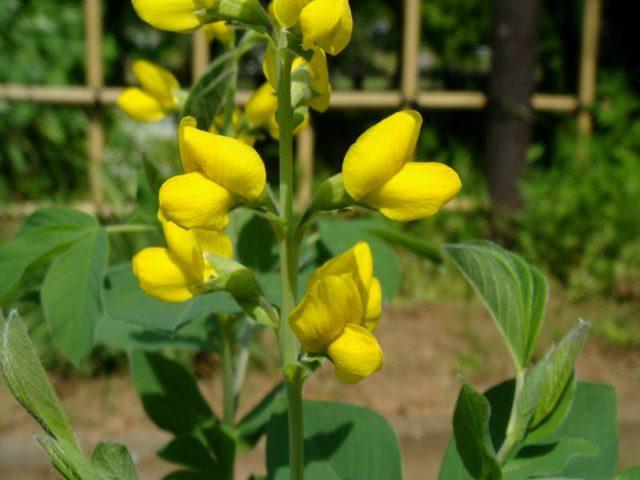 Мотыльковые цветки