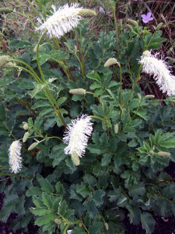 Компактные головчатые соцветия