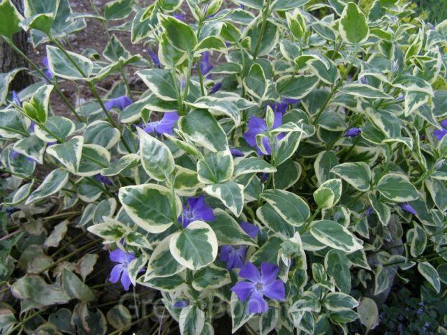 Светло-зеленые листья с бледно-желтыми краями
