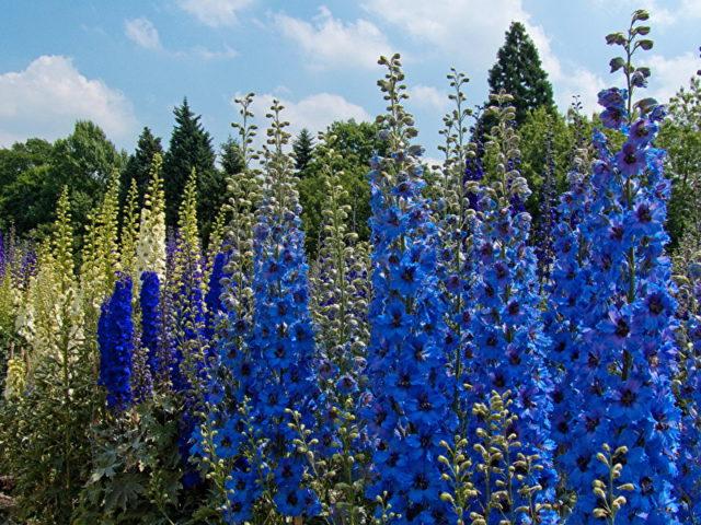 Цветки лавандово-синие
