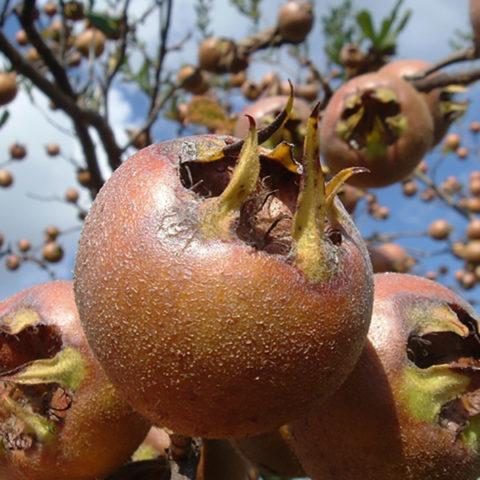 Крупные плоды