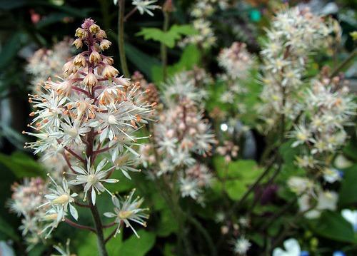 Поникающие беловато-кремовые цветки