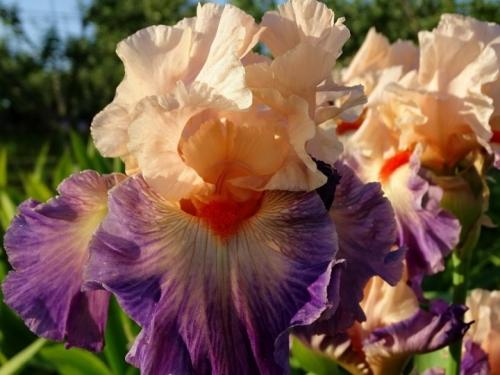 Цветки кремовые с оттенком синего цвета
