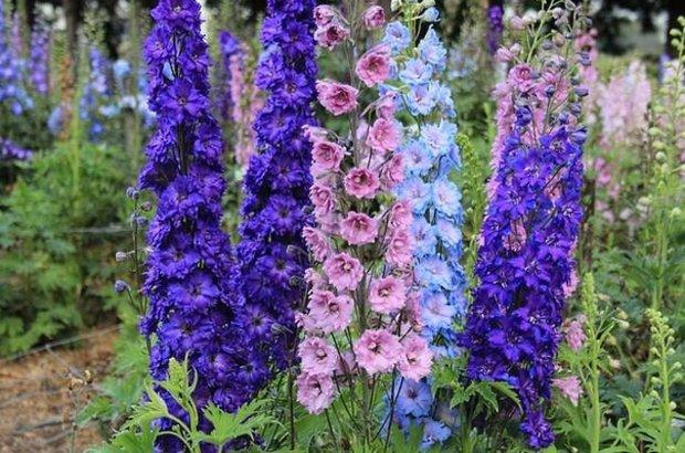 Цветки синие с розово-лиловым оттенком