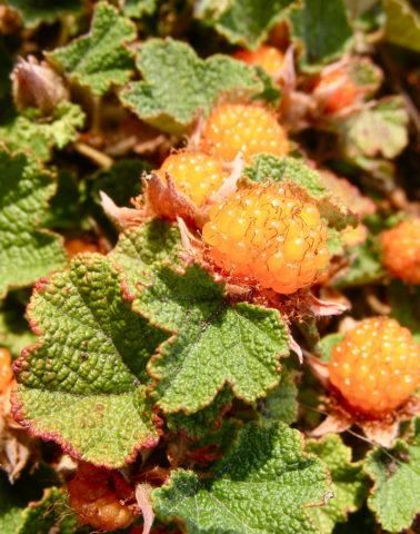 Изящное плетистое (лазящее) растение