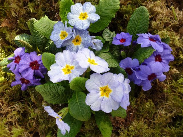 Цветки голубые и белые