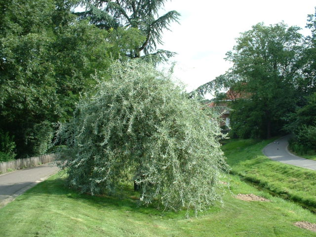 Дерево с густой куполообразной кроной