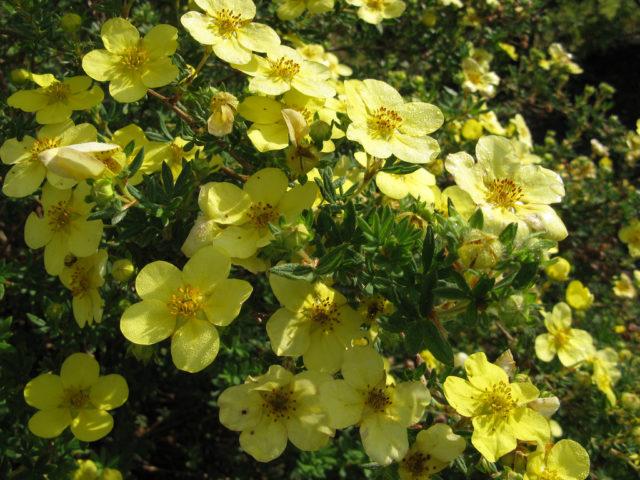 Цветки у сорта мелкие, лимонно-желтые