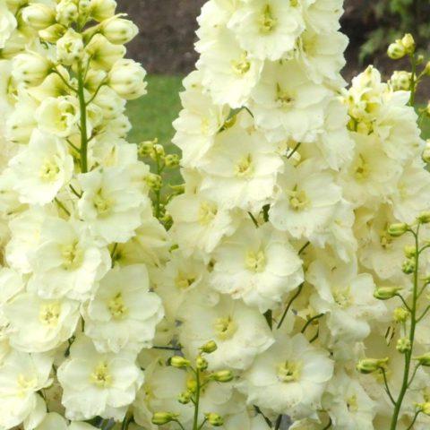 Цветки белые, с заметным желтым оттенком