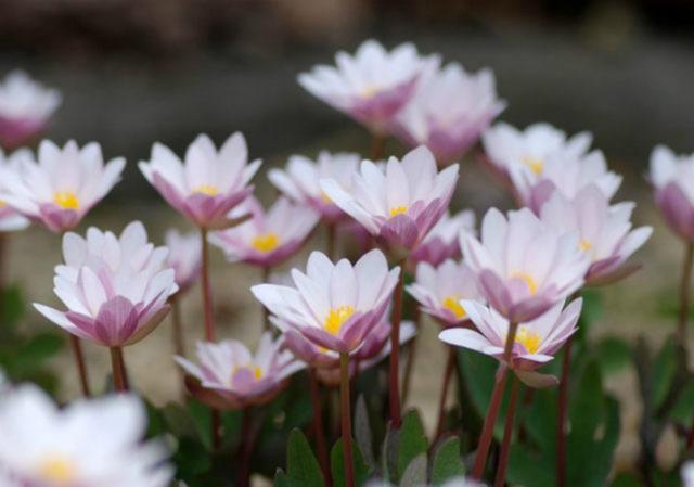 У сорта цветки с розоватым оттенком