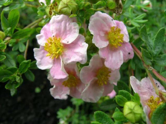 Сорт низкий, раскидистый, с желтым центром бледно-розовых венчиков