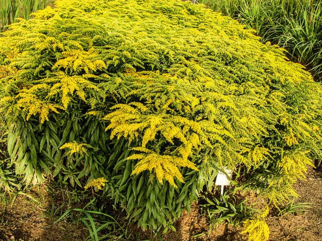 Ярко-желтые плотные соцветия