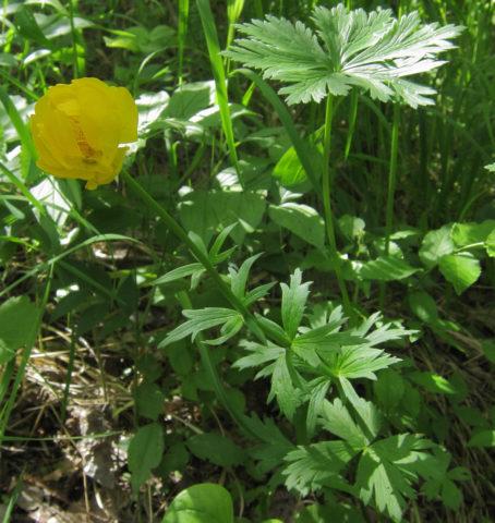 Цветки светло-желтые