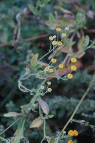 Цветки подвида похожи на маленькие кнопки