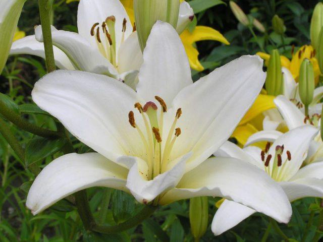 Открытые, направленные вверх, звездчатые белые цветки