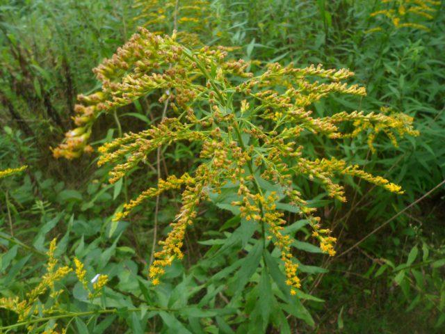 Крошечные ярко-желтые соцветия