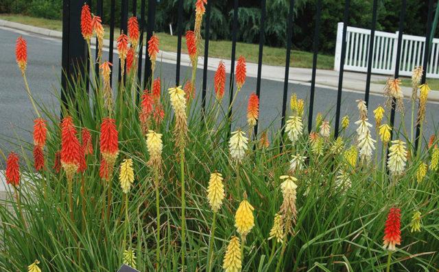 Плотные соцветия