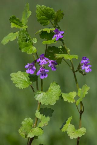 Компактное растение