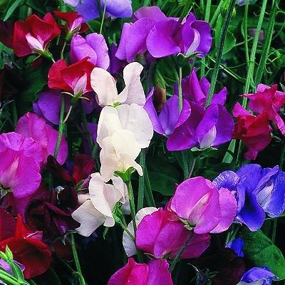 В соцветии до восьми цветков