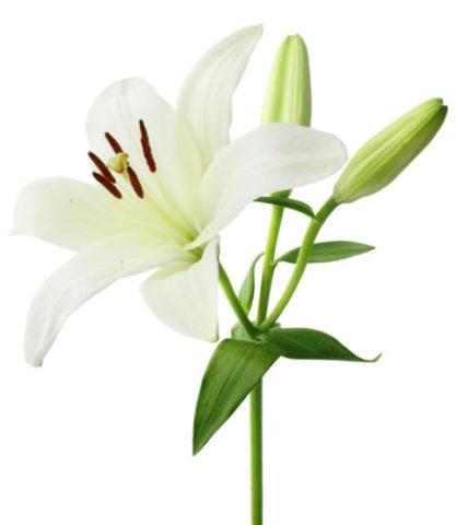 Зеленовато-желтые ароматные цветки