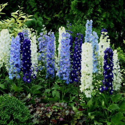 Цветки синие, с белыми глазками, в густых соцветиях