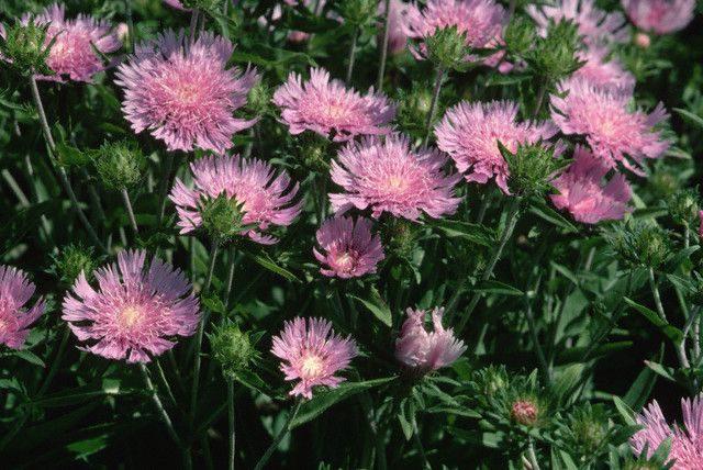 Соцветия-корзинки с многочисленными краевыми цветками