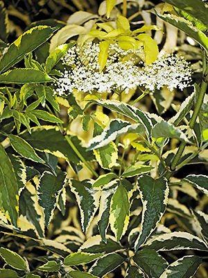 Сорт с ярко-зелеными листьями