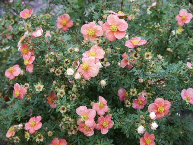 Низкий сорт с бледно-розовыми цветками