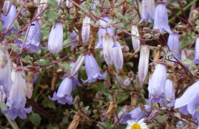 Поникающие цветки
