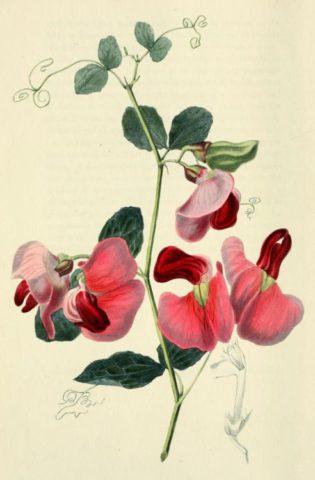 Мощное, раскидистое растение