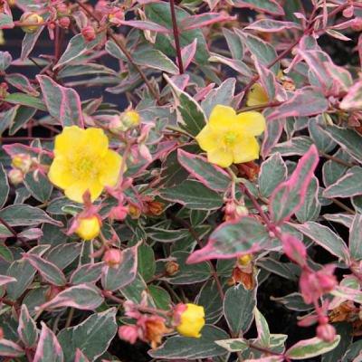 Цветки золотисто-желтые, с красноватыми пыльниками