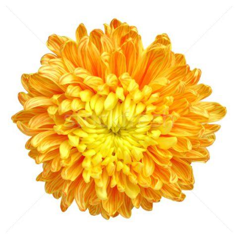 Коричневато-желтые хризантемы