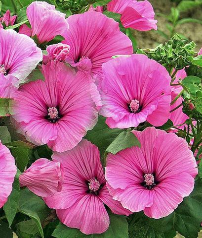 Цветки серебристо-розовые
