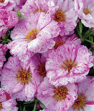 Цветки белые с розовыми полосами