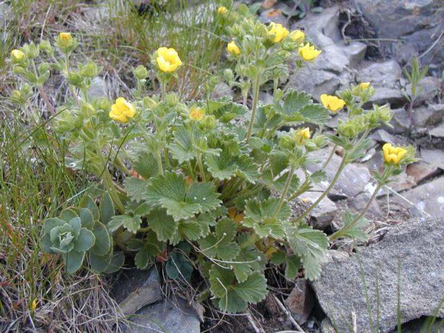 Густо-желтые цветки
