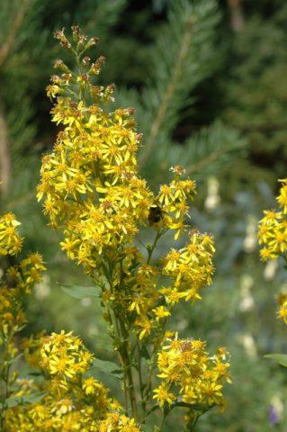 Рыхлые соцветия ярко-желтых цветков