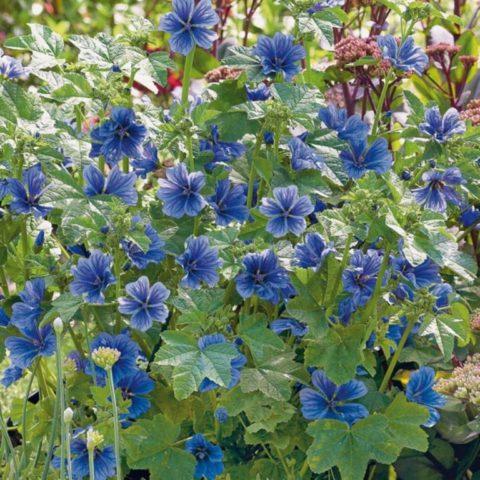 Цветки нежно-голубого цвета