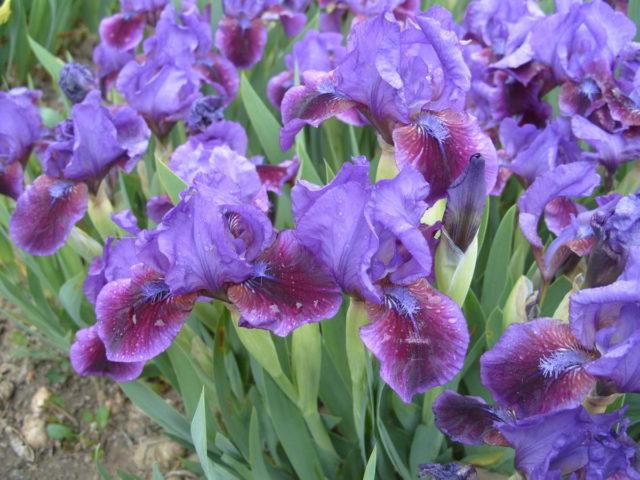Сорт с лавандовыми цветками