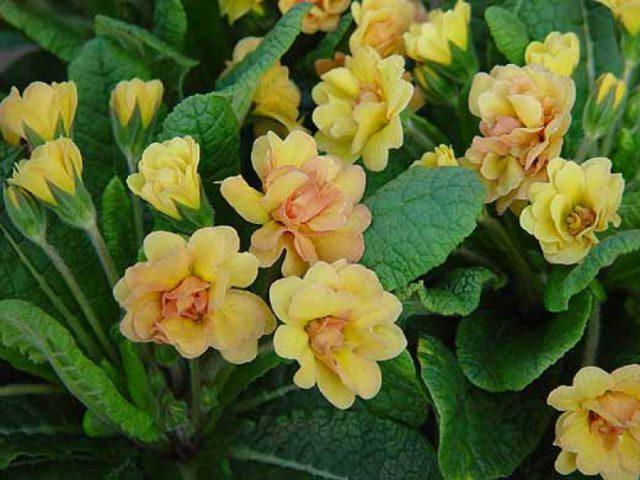 Цветки махровые нежно-абрикосовые