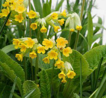 Однобокие зонтики душистых густо-желтых цветков
