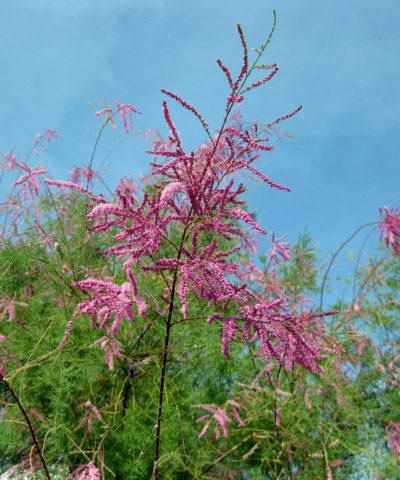 Крошечные розовые цветки