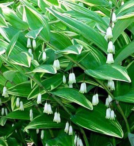 У сорта листья с кремово-желтыми краями