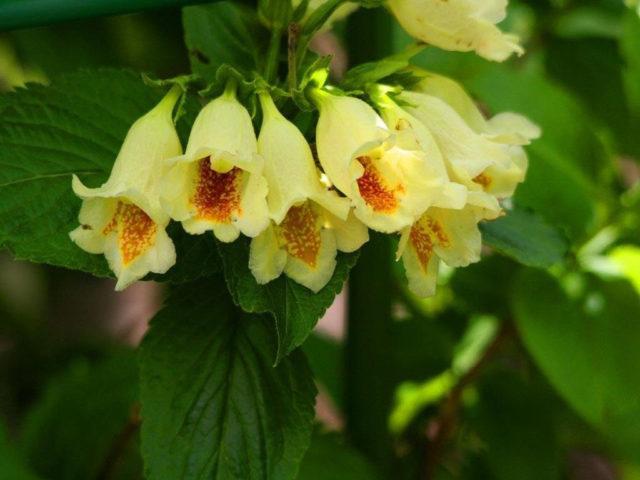 Светло-желтые колокольчатые цветки