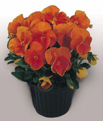 Темно-оранжевые цветки